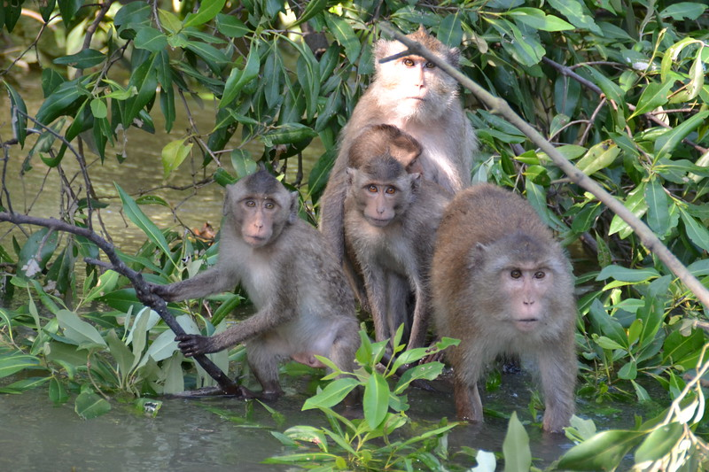 Troop of long-tailed macaques in Thailand