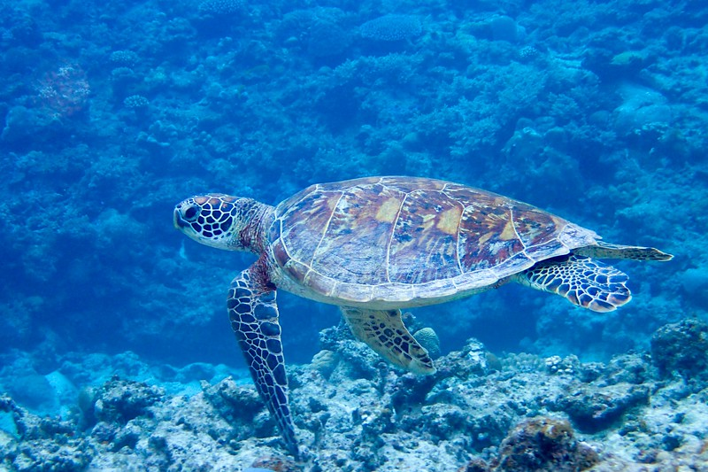 You're likely to see sea turtles when diving in Okinawa, Japan.