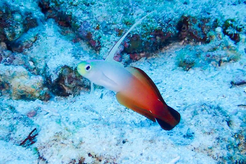 Gobi living in the coral reefs of Keramashoto National Park in Okinawa.