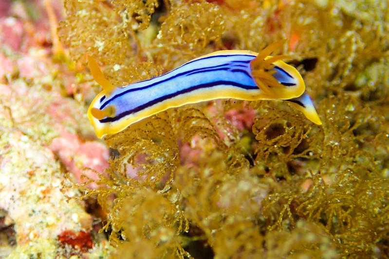 Nudibranch seen while diving in Okinawa.