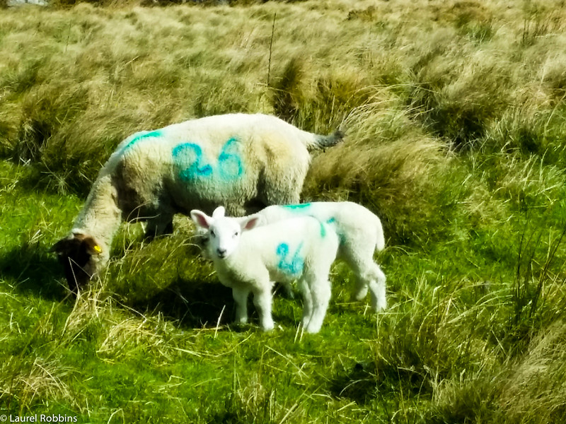 One of the things I loved about walking the Wicklow Way in spring were all the lambs!