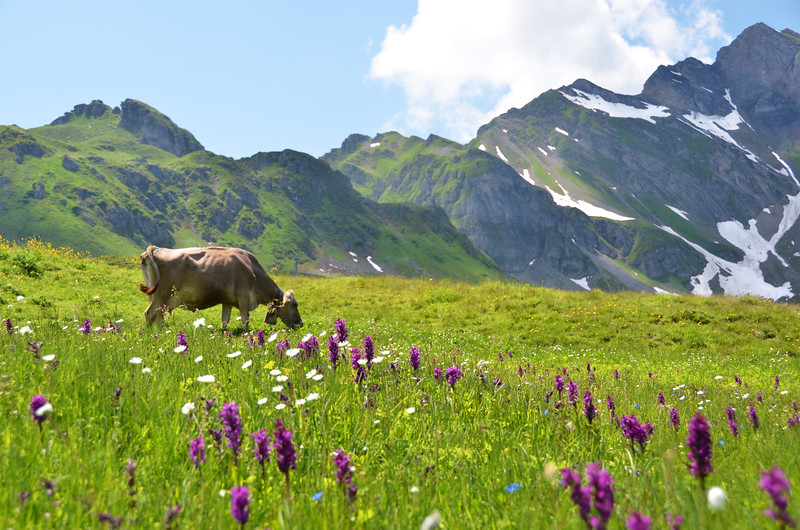 You'll see cows on your TMB hiking trip.