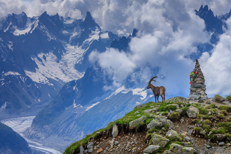 Ibex in front of Mont Blanc.