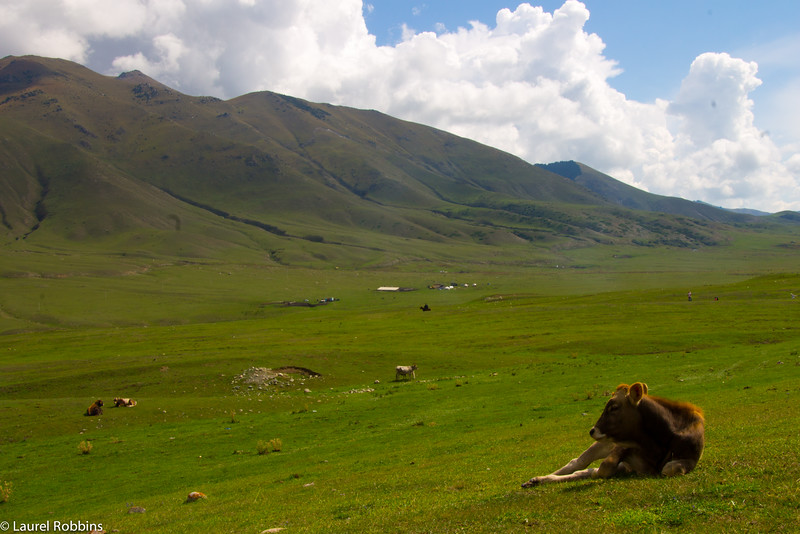 A cow relaxing in Jailoo, a summer pasture near Cholpan-Ata in Kyrgyzstan.