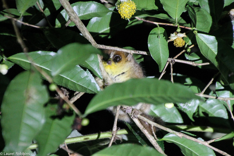 Picture of a nocturnal mouse lemur in Madagascar