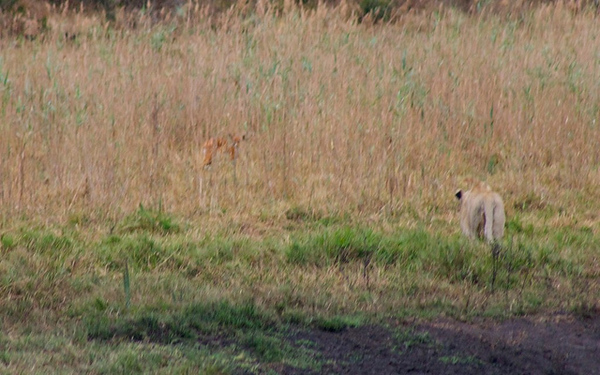 Lioness hunting in Tembe Elephant Park, South Africa