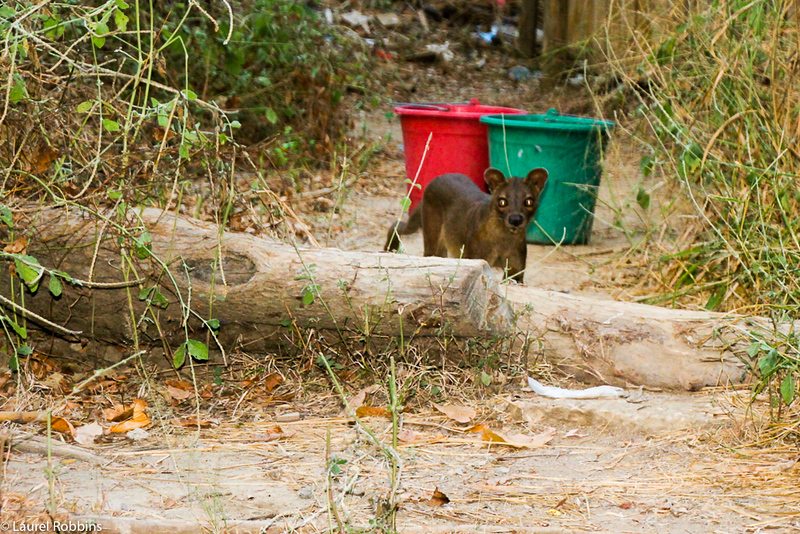 Madagascar fact: Fossa are endemic