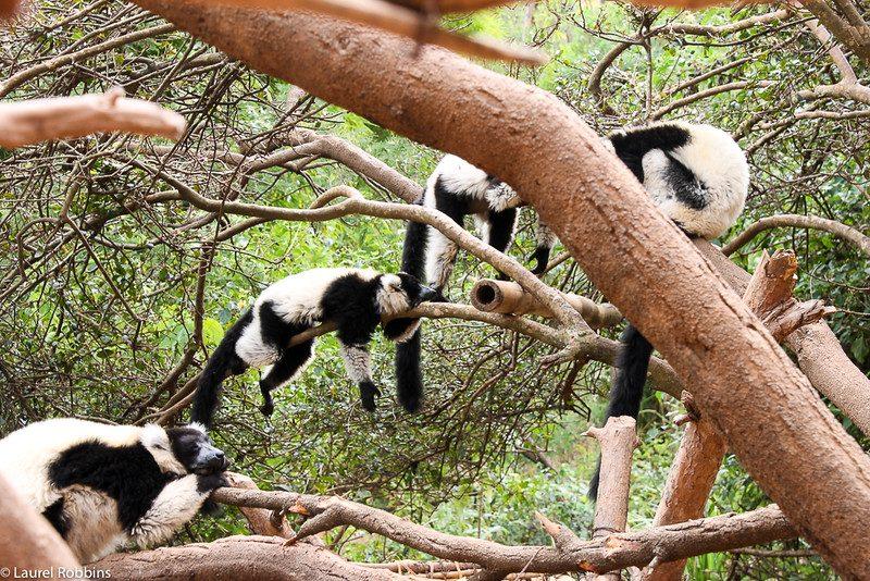 madagascar-lemurs2-16