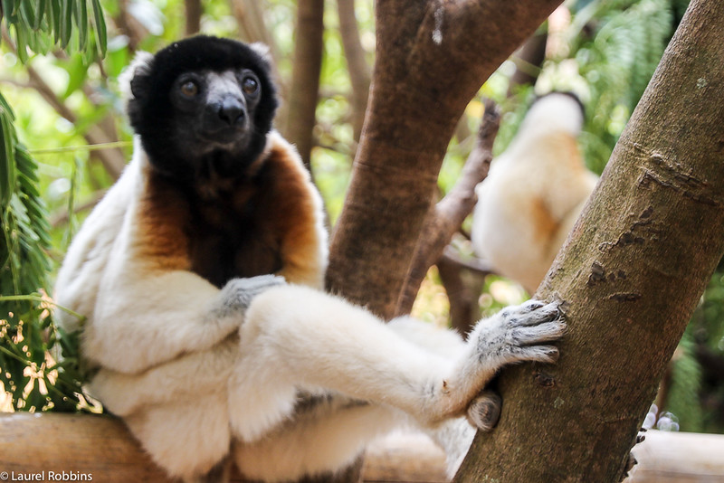Picture of a Sifaka, a type of lemur in Madagascar