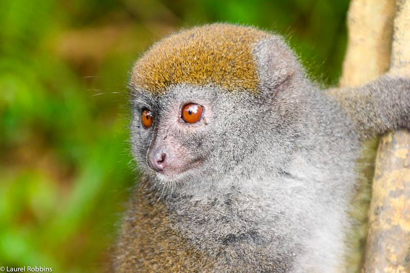 Picture of a Bamboo Lemur in Madagascar