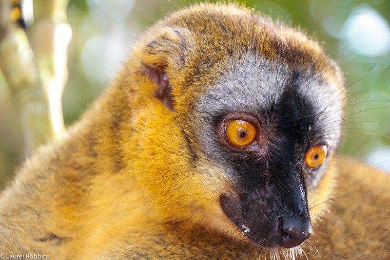 Picture of a Sportive Lemur in Madagascar