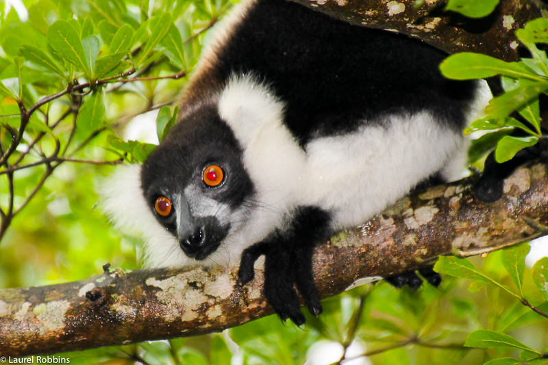 Picture of a ruffed lemur in Madagascar