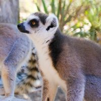see ring-tailed lemurs in Madagascar