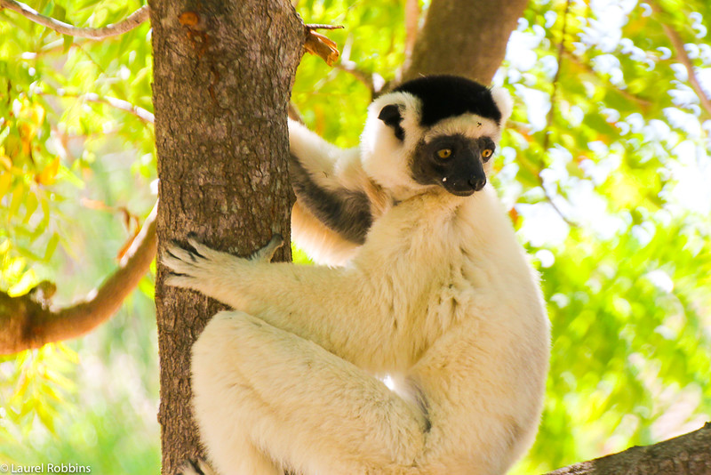 madagascar facts: giant lemurs as big as gorillas used to exist