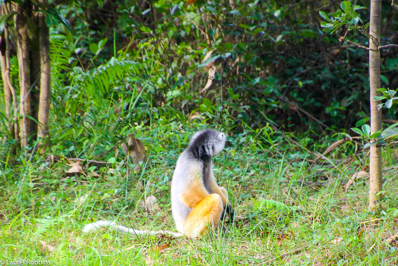 Picture of a Sifaka aka