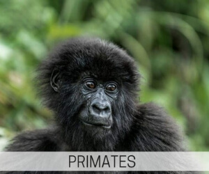 see primates in the wild and help save primates through primate tourism