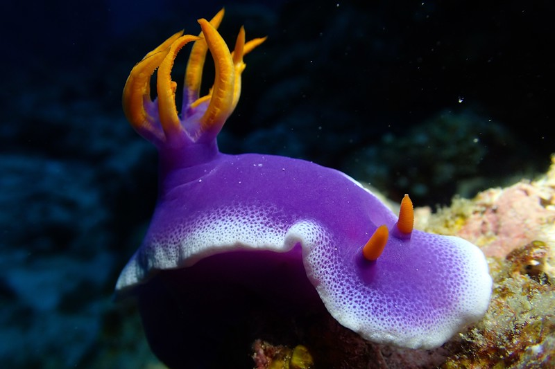 A colourful nudibranch seen while diving in the Kerama Islands in Okinawa, Japan.