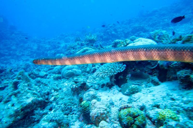 Sea snake seen while diving Keramashoto National Park in Tokyo.