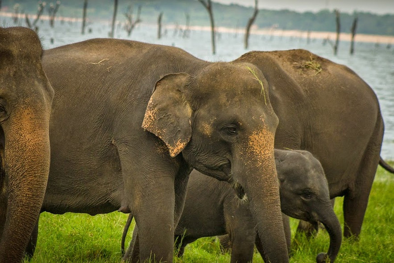 I saw a mother and baby elephant near the Kaudulla Reservoir.