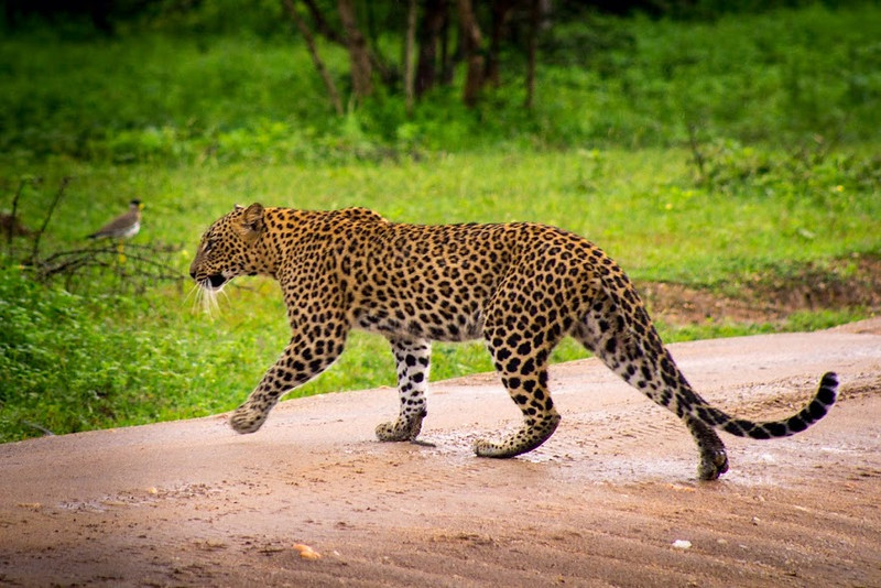 Leopard crossing the road at Yala National Park, which has the highest leopard density in the world!