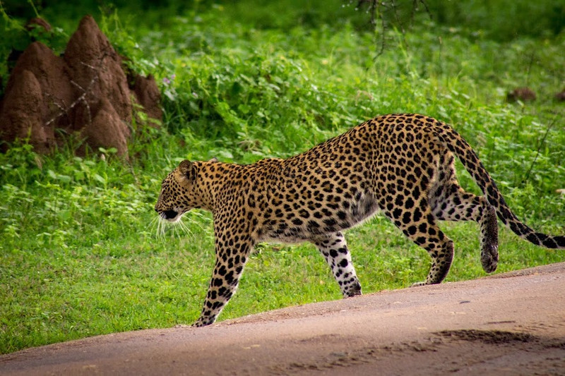 Leopard crossing the road at Yala.