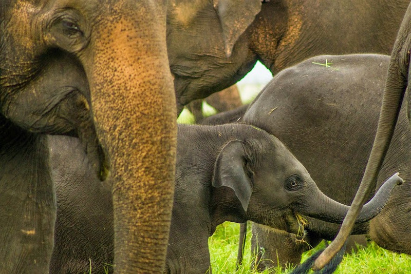 Is there anything cuter than seeing baby elephants? In Sri Lanka.
