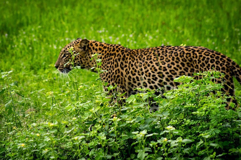 Yala has the highest population density of leopard in the world!