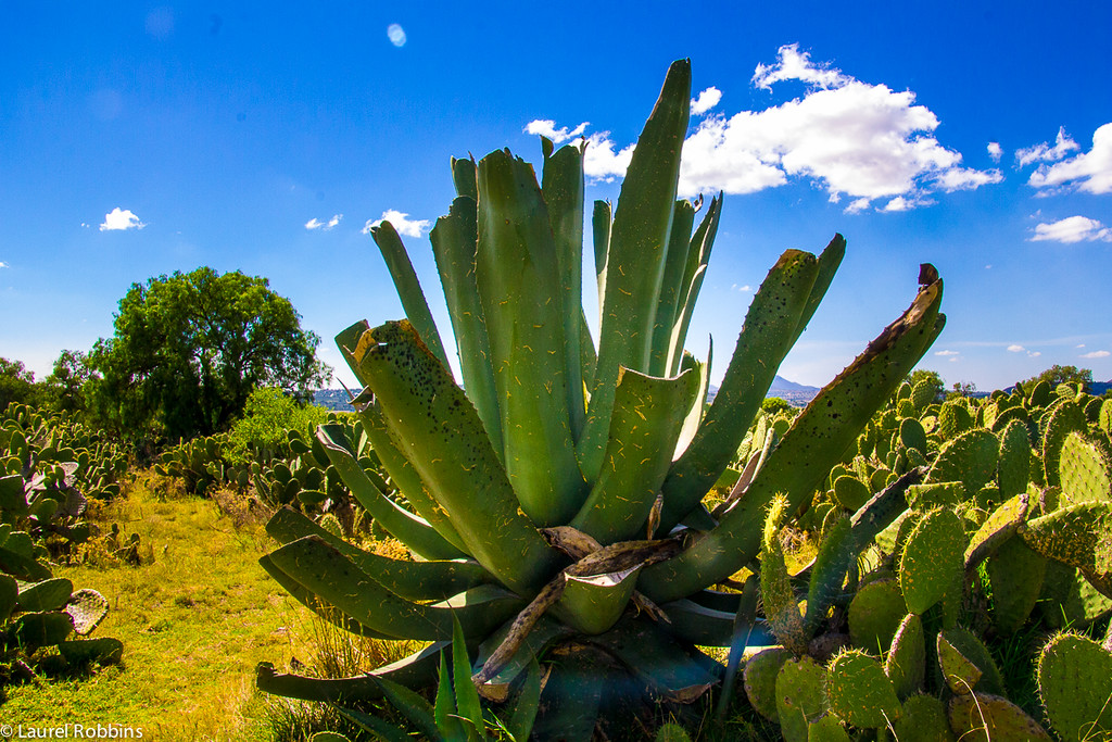 Agave plants serve as the base for Mexico's most popular drink - tequila!