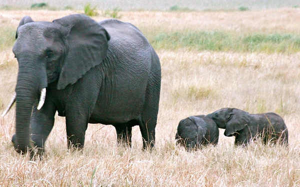 Two three-day old elephant calves in Tembe Elephant Park, South Africa.