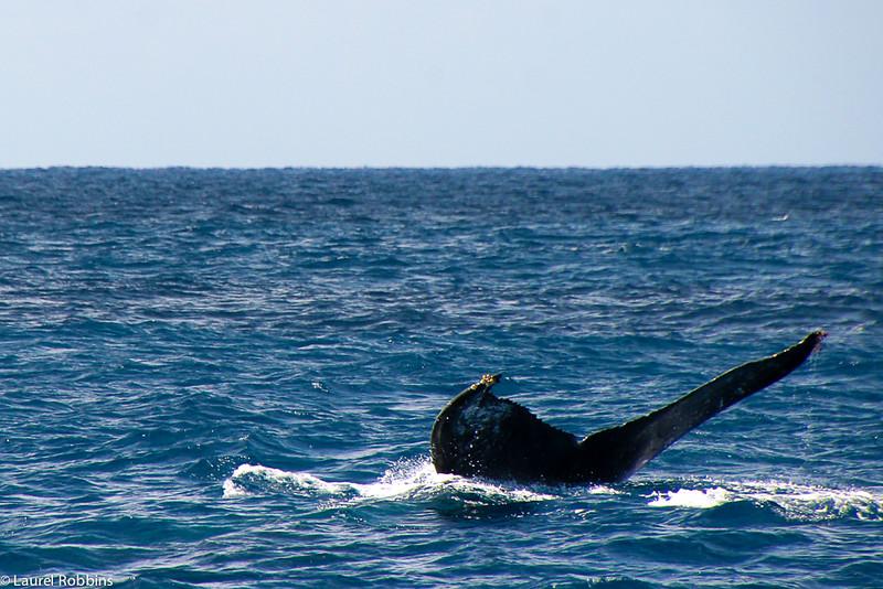 Humpback whale in the Kerama Islands in Okinawa, Japan.