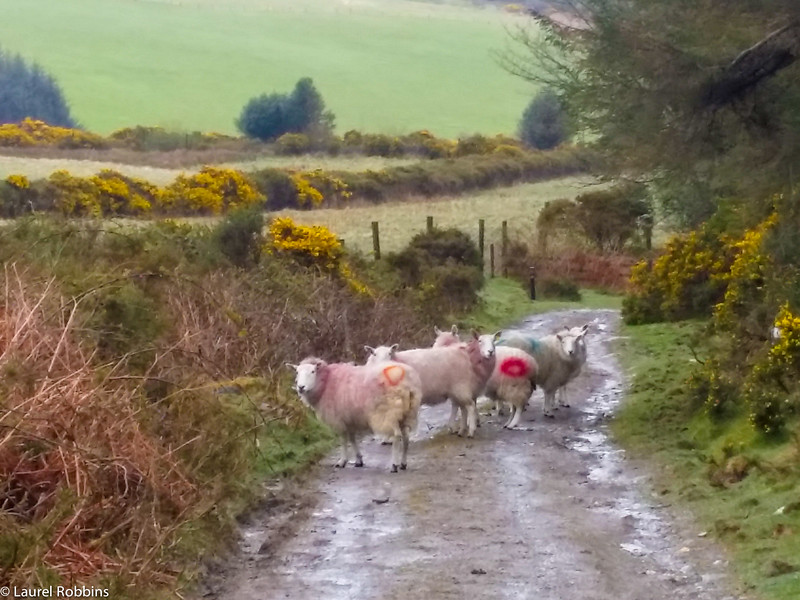 You will see a lot of sheep when you walk the Wicklow Way!
