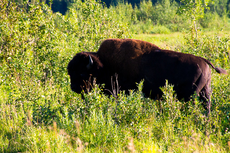 A wood bison, the largest mammal in North America.
