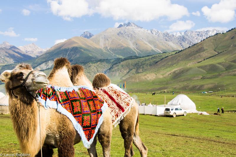 Camel in Jai Loo, a summer pasture in Kyrgyzstan