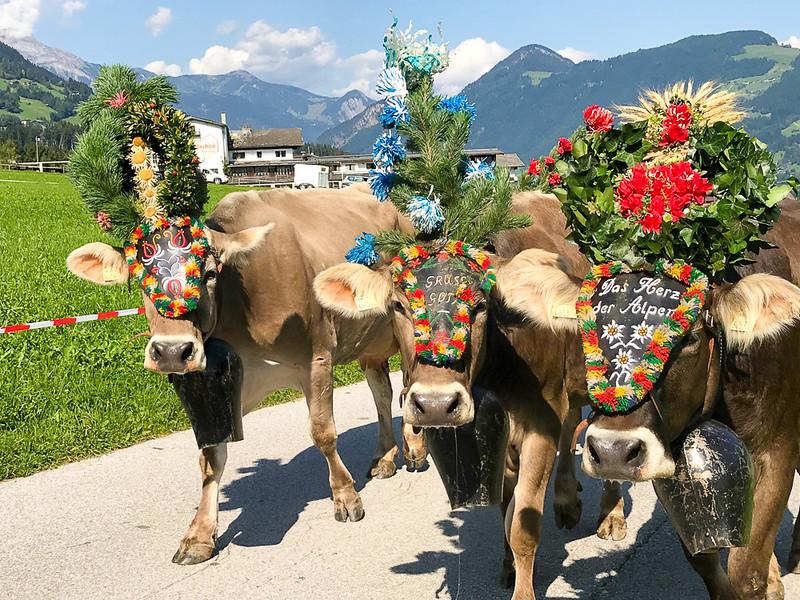 Cattle drive in Hoch Fügen, Zillertal, Austria.