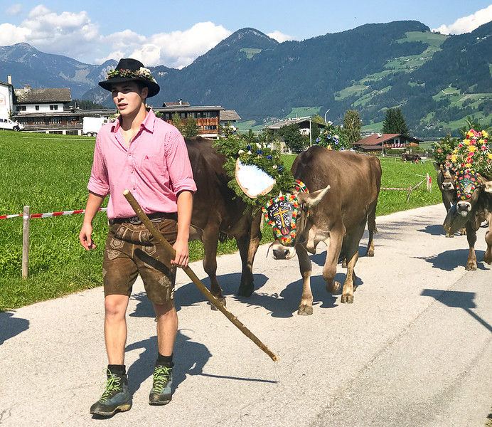 Tyrollean wearing traditional clothing while herding cows down from the mountains in Zillertal.