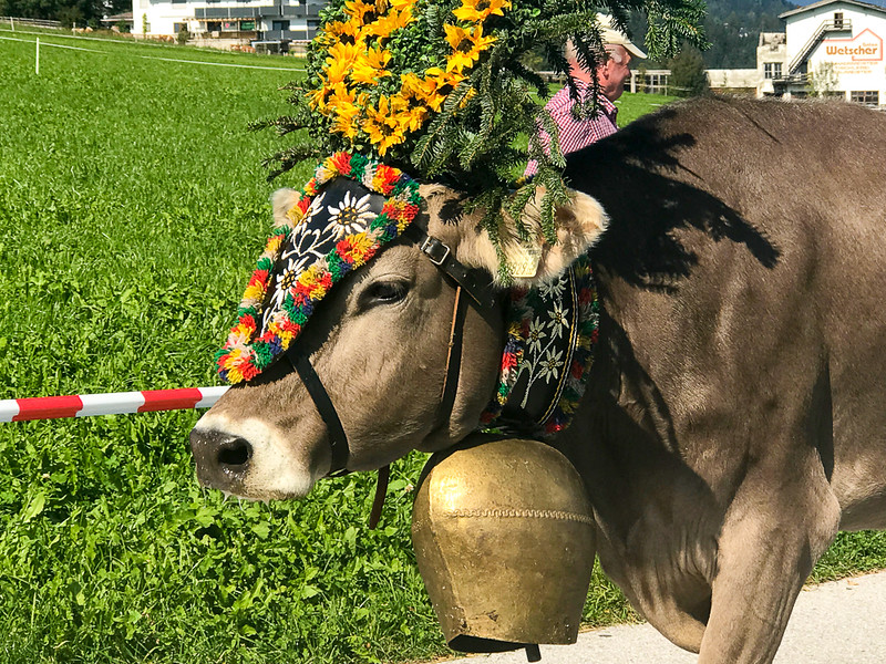 Cow with a large bell in Zillertal