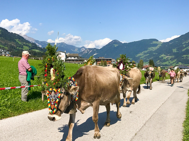 Cows decorated with flowers during the annual Almabtrieb in Zillertal.