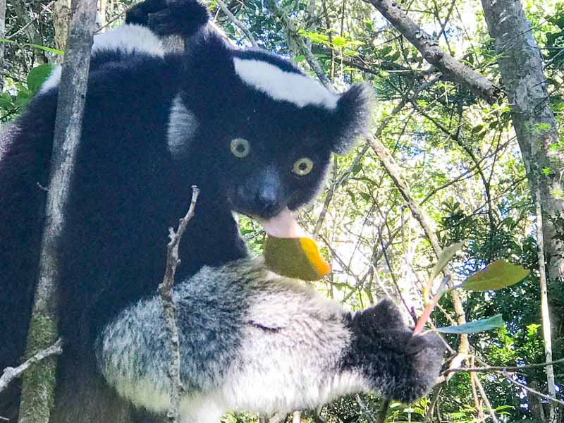 you can see and hear indris on your Madagascar trip with us