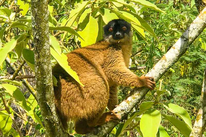 brown lemur seen on our Madagascar tour