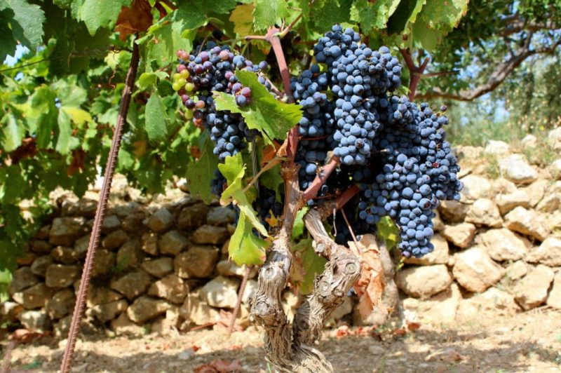 The vineyards are unrivalled in Hvar, Croatia