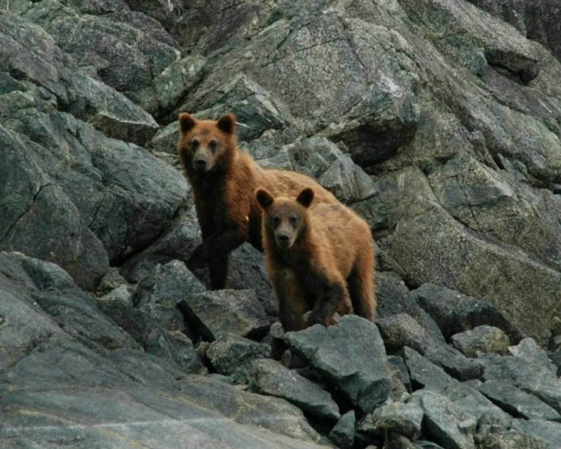 Grizzly Bears are a wonderful sighting in Glacier National Park