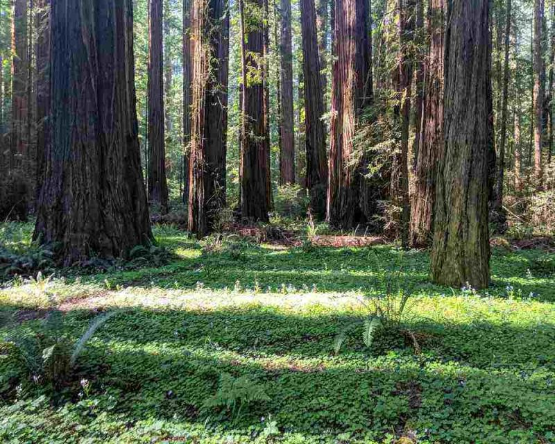 The Redwood Forests are one of the highlights of this Northern California road trip itinerary.