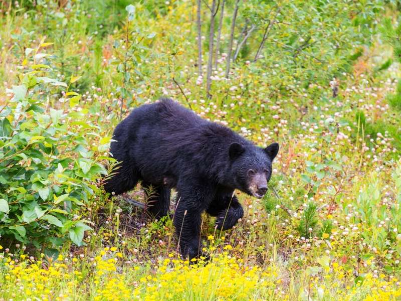 Yellowstone is home to black bears