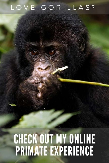 love gorillas? Check out my online primate experience
