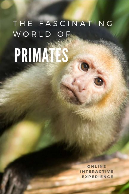 love monkeys? Check out my online primate experience