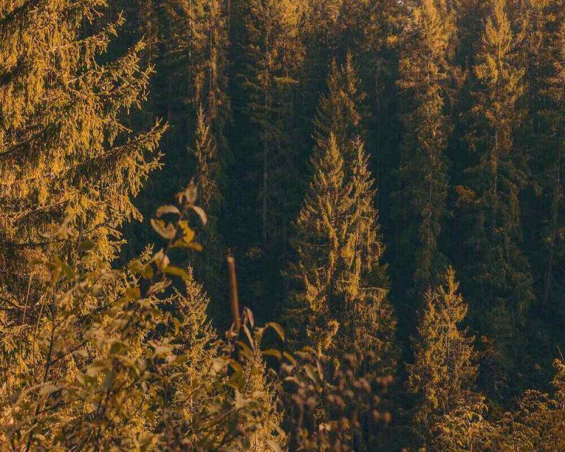 Golden larch trees in September