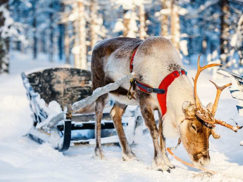 fun facts about reindeer in Finland