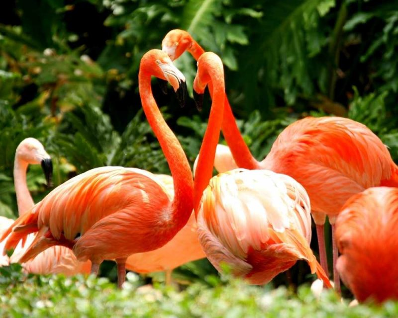 American Flamingos in a group