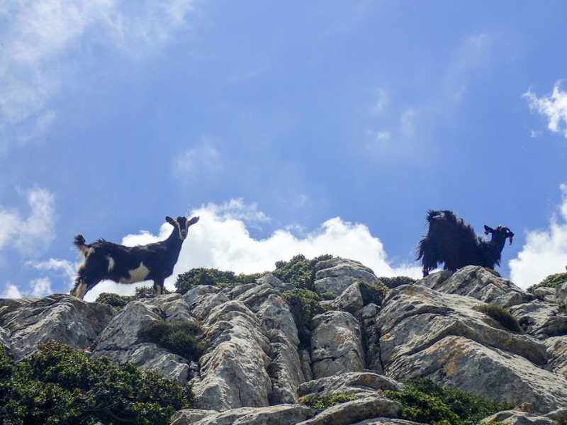 Goats on Naxos during the hiking tour in the Cyclades Islands in Greece