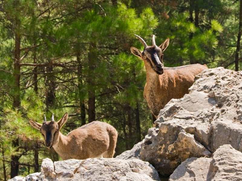 Cretan goats hiking in Crete